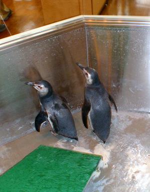 6ペンギン.jpg