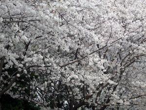 桜 2008 in 深北緑地